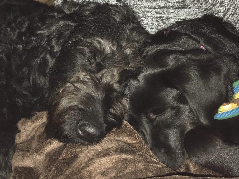 zwei-schwarze-hunde